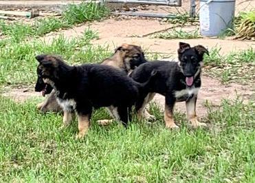 German Sheherd puppies